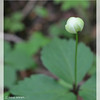 Columbia Windflower ~ Anemone deltoidea