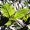 Salal Leaves ~ Gaultheria shallon