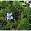 Marsh Violet ~ Viola palustris