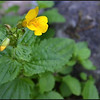 Seep Monkeyflower ~ Mimulus guttatus