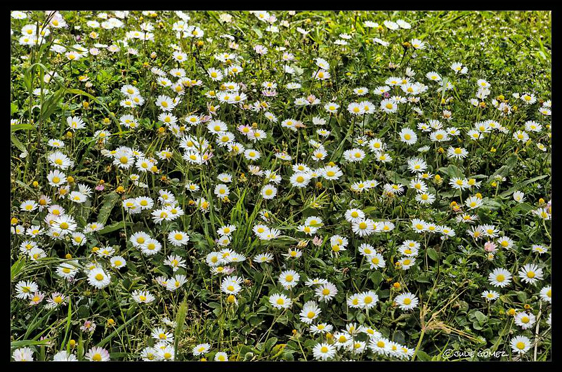 English Lawn Daisies ~ Bellis perennis