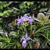 Tough-leaved Iris ~ Iris tenax