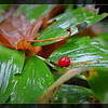 False Solomon's Seal Berry ~ Smilacina racemosa