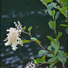 Ocean Spray ~ Holodiscus discolor