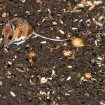 Deer Mouse?Peromyscus maniculatus