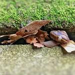 Pacific Sideband Snail?Monadenia fidelis