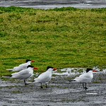 The More the Better?Caspian Terns ~ Hydroprogne caspia