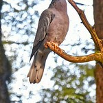 Band-tailed Pigeon?Patagioenas fasciata