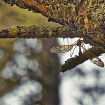 Sleeping Crane Fly