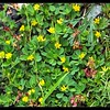 Suckling Clover—Trifolium dubium