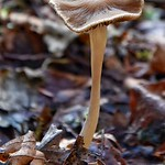 Wavy Cap?Psilocybe cyanescens