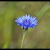 Just Open:  Cornflower—Centaurea cyanus