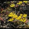 Broadleaf Stonecrop—Sedum spathulifolium