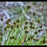Small-Wing Sedge?Carex microptera