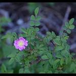Wood Rose?Rosa gymnocarpa
