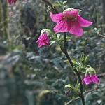 Salmonberry Blossoms?Rubus spectabilis
