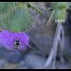 Bull Thistle—Cirsium vulgare