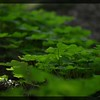 Wood Sorrel ~ Oxalis oregana