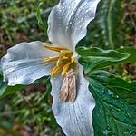 Pacific Trillium  (Trillium ovatum) and Moth