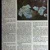 Western Yarrow—Achillea millefolium