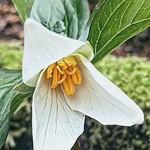 Pacific Trillium?Trillium ovatum